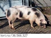 Buntes Bentheimer Schwein, Sus scrofa domesticus. Стоковое фото, фотограф Zoonar.com/Manfred Ruckszio / easy Fotostock / Фотобанк Лори