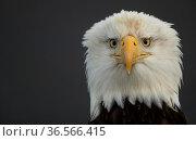 Bald eagle (Haliaeetus leucocephalus) head portrait, Alaska, USA, February. Стоковое фото, фотограф Danny Green / Nature Picture Library / Фотобанк Лори