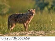 Golden jackal (Canis aureus) female baring teeth. Danube Delta, Romania, May. Стоковое фото, фотограф Loic Poidevin / Nature Picture Library / Фотобанк Лори