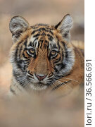 Bengal tiger, (Panthera tigris) cub, low angle view, Ranthambhore, India. Стоковое фото, фотограф Andy Rouse / Nature Picture Library / Фотобанк Лори