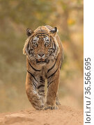 Bengal tiger (Panthera tigris) male 'T57' walking, Ranthambhore, India. Стоковое фото, фотограф Andy Rouse / Nature Picture Library / Фотобанк Лори