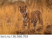 Bengal tiger (Panthera tigris) female 'T19 Krishna', Ranthambhore, India. Стоковое фото, фотограф Andy Rouse / Nature Picture Library / Фотобанк Лори