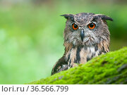 RF - Eagle owl (Bubo bubo) portrait. Netherlands, August. (This image may be licensed either as rights managed or royalty free.) Стоковое фото, фотограф Edwin Giesbers / Nature Picture Library / Фотобанк Лори