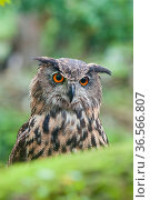 Eagle owl (Bubo bubo) portrait. Netherlands, August. Captive. Стоковое фото, фотограф Edwin Giesbers / Nature Picture Library / Фотобанк Лори