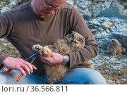 Man ringing Eagle owl (Bubo bubo) chick. Netherlands. February 2016. Стоковое фото, фотограф Edwin Giesbers / Nature Picture Library / Фотобанк Лори