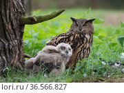 Eagle owl (Bubo bubo), adult and chick at nest, Netherlands. May. Стоковое фото, фотограф Edwin Giesbers / Nature Picture Library / Фотобанк Лори