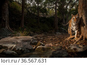Bengal tiger (Panthera tigris tigris) in forest clearing. Camera trap image. Pench National Park, Madhya Pradesh, India. January 2018. Стоковое фото, фотограф Nayan Khanolkar / Nature Picture Library / Фотобанк Лори