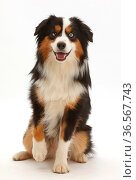 Tricolour Mini American shepherd dog sitting. Стоковое фото, фотограф Mark Taylor / Nature Picture Library / Фотобанк Лори