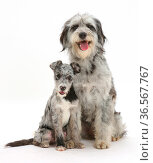 Blue merle Cadoodle and mutt pup. Стоковое фото, фотограф Mark Taylor / Nature Picture Library / Фотобанк Лори