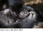 Mountain gorilla (Gorilla gorilla beringei), baby in arms of mother. Volcanoes National Park. Rwanda. Стоковое фото, фотограф Christophe Courteau / Nature Picture Library / Фотобанк Лори