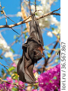 Black flying fox (Pteropus alecto), male stretching wing whilst roosting on branch. Kununurra, Western Australia. Стоковое фото, фотограф Steven David Miller / Nature Picture Library / Фотобанк Лори