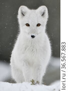 Arctic fox (Vulpes lagopus), juvenile looking at camera, portrait, winter pelage. Dovrefjell National Park, Norway. September. Стоковое фото, фотограф Staffan Widstrand / Nature Picture Library / Фотобанк Лори