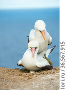 Nazca booby (Sula granti), pair mating at nest on cliff edge. Gardner Islet, Floreana Island, Galapagos. Стоковое фото, фотограф Tui De Roy / Nature Picture Library / Фотобанк Лори