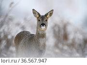 Roe deer (Capreolus capreolus) fawn in snow. Tartumaa, Southern Estonia. November. Стоковое фото, фотограф Sven  Zacek / Nature Picture Library / Фотобанк Лори