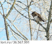 Pygmy owl (Glaucidium passerinum) perched in lichen covered tree. Helsinki, Finland. February. Стоковое фото, фотограф Markus Varesvuo / Nature Picture Library / Фотобанк Лори