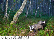 Eurasian badger (Meles meles), two foraging in Pine (Pinus sp) woodland. Glenfeshie, Cairngorms National Park, Scotland, UK. Стоковое фото, фотограф SCOTLAND: The Big Picture / Nature Picture Library / Фотобанк Лори