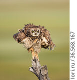 Short-eared Owl (Asio flammeus) shaking after preening while perched on fencepost, Boxelder County, Utah, USA, May. Стоковое фото, фотограф Marie  Read / Nature Picture Library / Фотобанк Лори