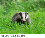 European badger (Meles meles) cub in grass. UK, June. Стоковое фото, фотограф Andy Rouse / Nature Picture Library / Фотобанк Лори
