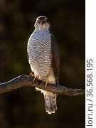 Northern goshawk (Accipiter Gentilis) male perched on branch. Finland. April. Стоковое фото, фотограф Andy Rouse / Nature Picture Library / Фотобанк Лори