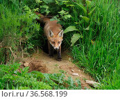 European red fox (Vulpes vulpes) cub at den entrance. UK. June. Стоковое фото, фотограф Andy Rouse / Nature Picture Library / Фотобанк Лори