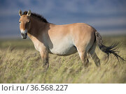 Przewalski horse (Equus ferus przewalskii) herd. Great Gobi B Strictly Protected Area, Mongolia. August. Стоковое фото, фотограф Cyril Ruoso / Nature Picture Library / Фотобанк Лори