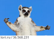 Ringed-tailed lemur (Lemur catta), portrait, sunbathing in early morning with arms outstretched. Anja Community Reserve, Madagascar. Стоковое фото, фотограф Cyril Ruoso / Nature Picture Library / Фотобанк Лори