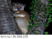White-footed sportive lemur (Lepilemur leucopus) in Madagascar ocotillo (Alluaudia procera) tree. Berenty Reserve, Madagascar. Стоковое фото, фотограф Cyril Ruoso / Nature Picture Library / Фотобанк Лори