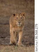 Asiatic lion (Panthera leo persica), portrait. Gir National Park, Gujarat, India. Photo© Phillip Ross/Felis Images. Стоковое фото, фотограф Felis Images / Nature Picture Library / Фотобанк Лори