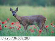 Roe deer (Capreolus capreolus) doe grazing in meadow with poppies (Papaver rhoeas). Yonne, Bourgogne-Franche-Comte, France. June. Стоковое фото, фотограф Cyril Ruoso / Nature Picture Library / Фотобанк Лори
