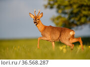 Roe deer (Capreolus capreolus) buck walking in meadow in evening light. Yonne, Bourgogne-Franche-Comte, France. April. Стоковое фото, фотограф Cyril Ruoso / Nature Picture Library / Фотобанк Лори