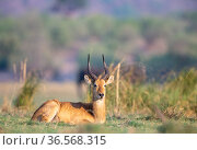 Puku (kobus vardonii) sitting in floodplain on Chobe River. Chobe National Park,Botswana. Стоковое фото, фотограф Yashpal Rathore / Nature Picture Library / Фотобанк Лори