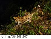 Indian leopard (Panthera pardus fusca) sub-adult. Nilgiri Biosphere Reserve, India. Camera trap image. Стоковое фото, фотограф Yashpal Rathore / Nature Picture Library / Фотобанк Лори