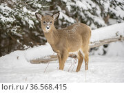 White-tailed deer (Odocoileus virginianus) fawn standing in snow. Acadia National Park, Maine, USA. January. Стоковое фото, фотограф George  Sanker / Nature Picture Library / Фотобанк Лори
