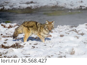 Coyote (Canis latrans) standing near water's edge, in snow. Hayden Valley, Yellowstone National Park, USA. January 2019. Стоковое фото, фотограф Nick Garbutt / Nature Picture Library / Фотобанк Лори