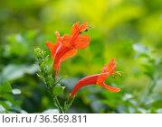 Perennial shrub Tecoma cape blooms (lat.Tecoma capensis) Стоковое фото, фотограф Irina Opachevsky / Фотобанк Лори