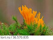 Klebriger Hoernling, Calocera viscosa, Moos. Стоковое фото, фотограф Zoonar.com/Gerd Herrmann / age Fotostock / Фотобанк Лори