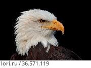 Weißkopf-Seeadler, Haliaeetus leucocephalus, Portrait. Стоковое фото, фотограф Zoonar.com/Gerd Herrmann / age Fotostock / Фотобанк Лори