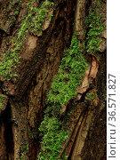 Baumrinde, Robinie, Moos, Robinia pseudoacacia. Стоковое фото, фотограф Zoonar.com/Gerd Herrmann / age Fotostock / Фотобанк Лори