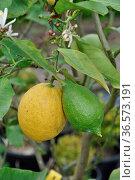 Zitronenbaum, zitronenbäumchen, zitrone, zitronen, limone, limonen... Стоковое фото, фотограф Zoonar.com/Volker Rauch / easy Fotostock / Фотобанк Лори