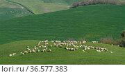 In der Crete Senesi sind immer wieder Schafherden anzutreffen, die... Стоковое фото, фотограф Zoonar.com/Christa Eder / easy Fotostock / Фотобанк Лори
