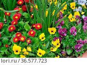 Frühlingsblumen, Frühlingsblume, beet, blumenbeet, blume, blumen,... Стоковое фото, фотограф Zoonar.com/Volker Rauch / easy Fotostock / Фотобанк Лори