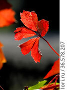 Herbstliches Weinlaub im Gegenlicht. Стоковое фото, фотограф Zoonar.com/Martina Berg / easy Fotostock / Фотобанк Лори