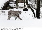 Wild animals in forest.Der Luchs(Felis lynx) Стоковое фото, фотограф Zoonar.com/Arvidas Saladauskas / age Fotostock / Фотобанк Лори