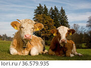 Die zwei kleine Rinder geniessen die letzten Strahlen der warmen ... Стоковое фото, фотограф Zoonar.com/Christa Eder / age Fotostock / Фотобанк Лори