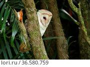 Barn owl (Tyto alba) in Kauai, Hawaii. Стоковое фото, фотограф Héctor Cordero / age Fotostock / Фотобанк Лори