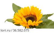 Helianthus annuus, the common sunflower, isolated on white background. Стоковое фото, фотограф Tamara Kulikova / Фотобанк Лори