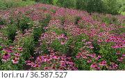 Поле эхинацеи пурпурной (Echinacea purpurea). Вид с воздуха. Field of echinacea (Echinacea purpurea). Aerial view. Стоковое видео, видеограф Евгений Романов / Фотобанк Лори