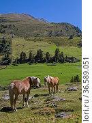 Zwei Haflingerpferde auf einer Almwiese im Ötztal. Стоковое фото, фотограф Zoonar.com/Eder Christa / age Fotostock / Фотобанк Лори