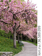 BlŸhende Japanische KirschbŠume (Prunus serrulata) am Schlo§berg, ... Стоковое фото, фотограф Zoonar.com/GŸnter Lenz / age Fotostock / Фотобанк Лори
