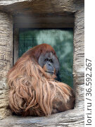 Суматранский орангутан (Sumatran orangutan) в Московском зоопарке. Редакционное фото, фотограф Free Wind / Фотобанк Лори